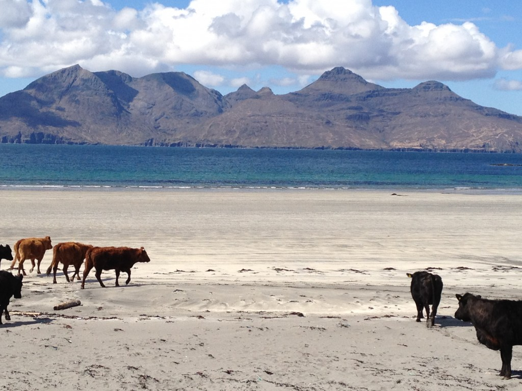 Cattle on Cleardale beach, looking towards Rum