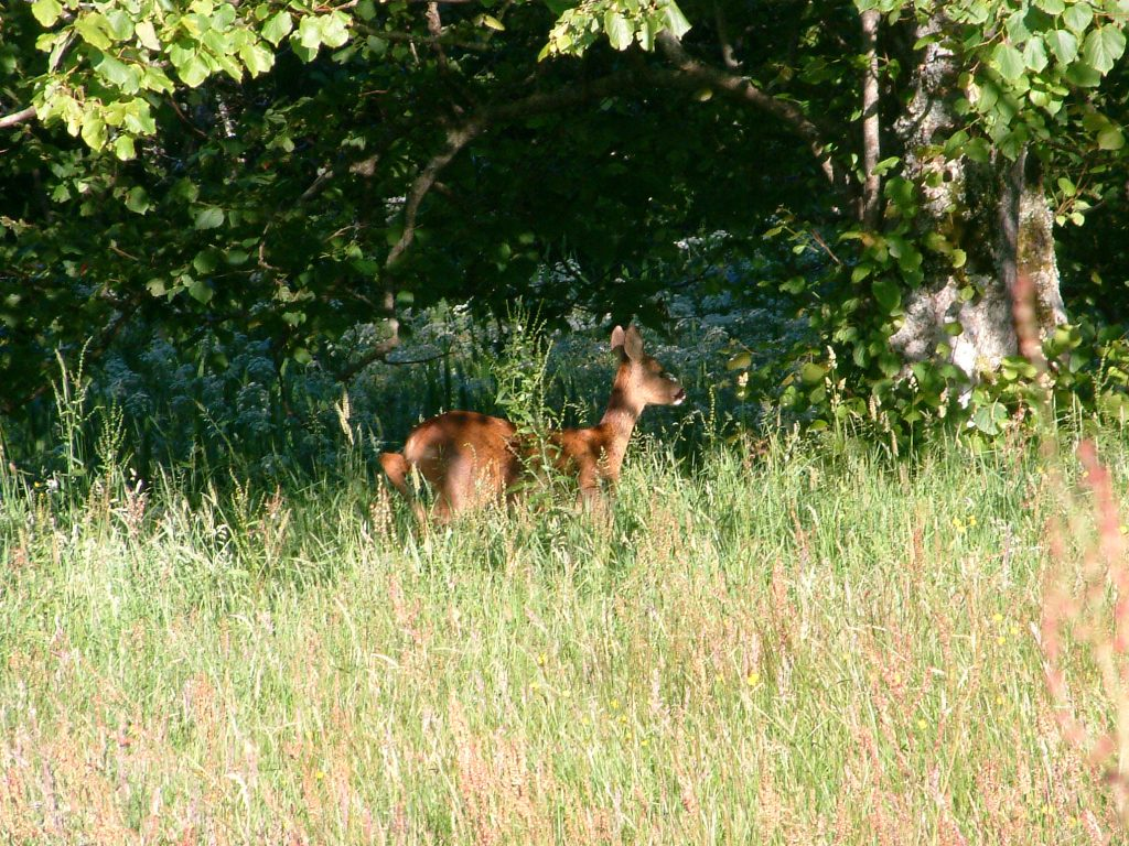 A young roe deer in dappled shade